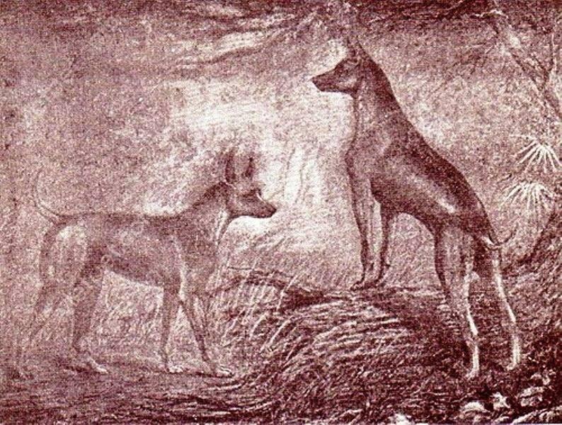 """Tranh minh họa hai chú chó Phú Quốc Chuối và Xoài trong cuốn sách """"Les races de chiens"""""""