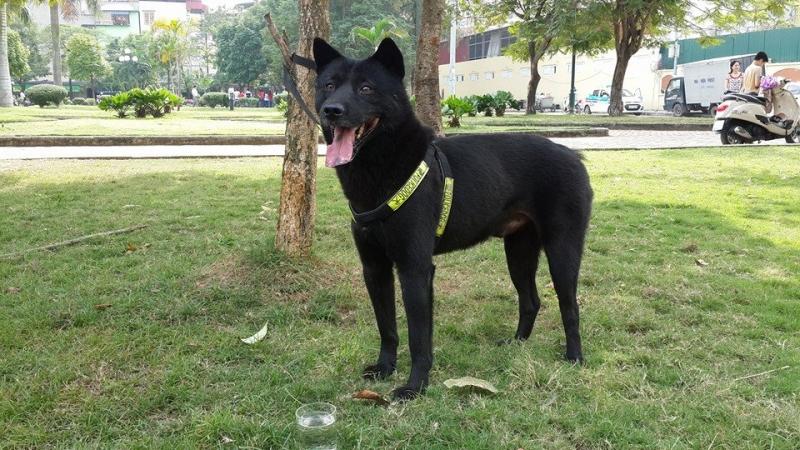 H'Mông cộc là một giống chó săn cổ
