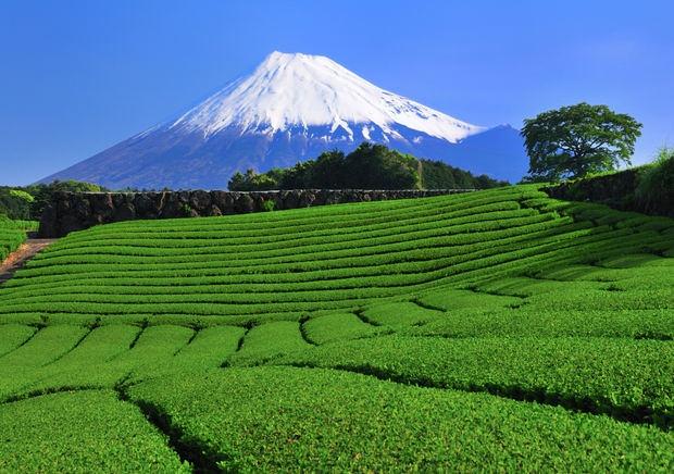 Trà xanh chiếm 99,9% sản lượng trà của Nhật
