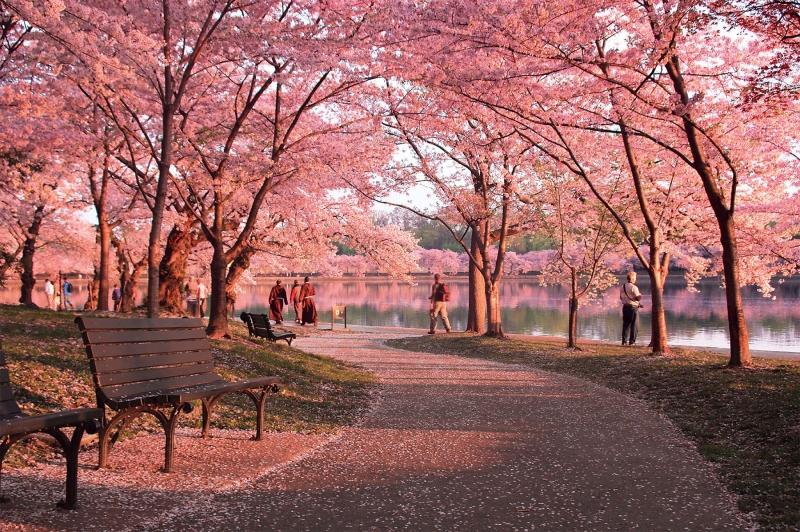 Hai bên đường là những cây anh đào khoe sắc hồng rực rỡ, khó có ai có thể cưỡng lại vẻ đẹp lãng mạn này.