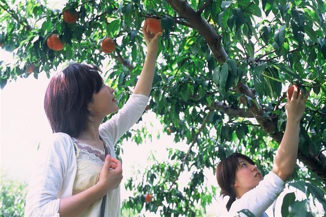 Các cô gái Nhật hái quả