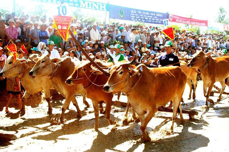 Hội đua bò Bảy Núi