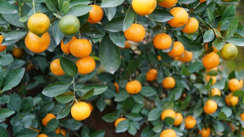 Những trái quất vàng ươm sai trĩu cành.