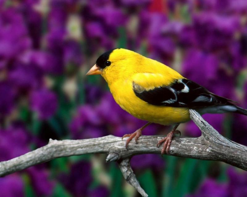 Bạn có thể nuôi chim cảnh tại nhà
