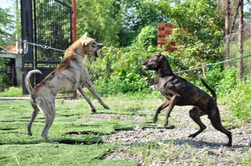 Chó Phú Quốc rất gan dạ và dũng mãnh