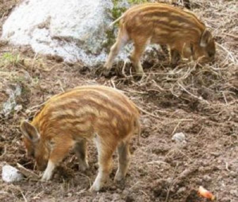 lợn rừng sạch tiêu chuẩn của nông trại Mạnh Hải