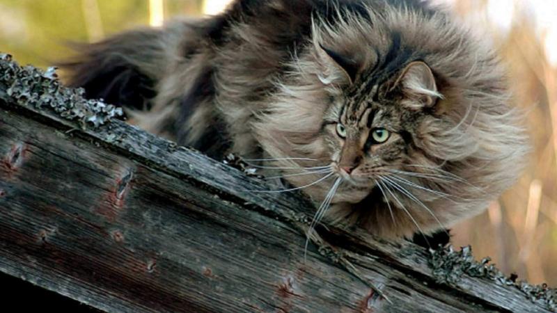 Norwegian Forest Cat có vẻ ngoài oai vệ như một chú sư tử