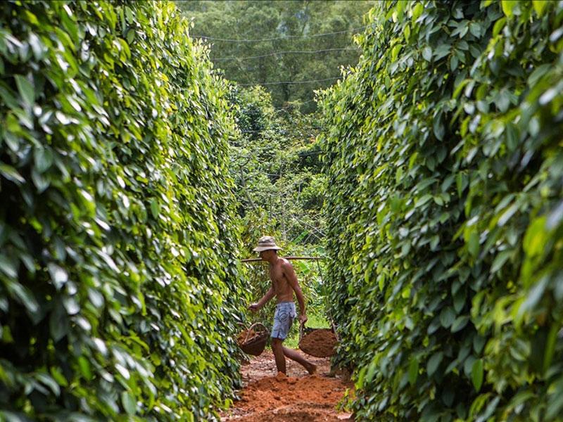 Tiêu được trồng phổ biến trên núi Pháo Đài