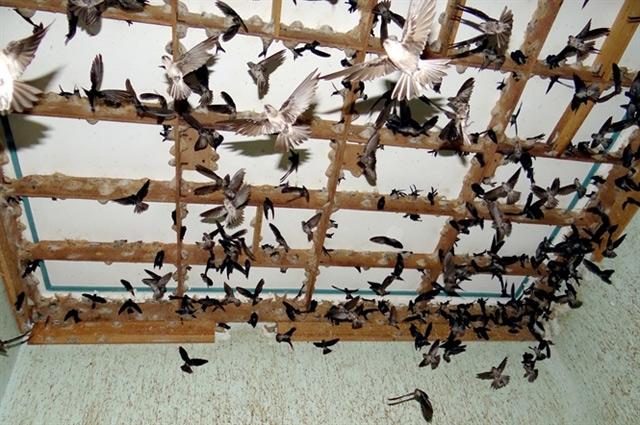 Nuôi chim yến trong nhà không mất chi phí thức ăn mà lợi nhuận cực lớn