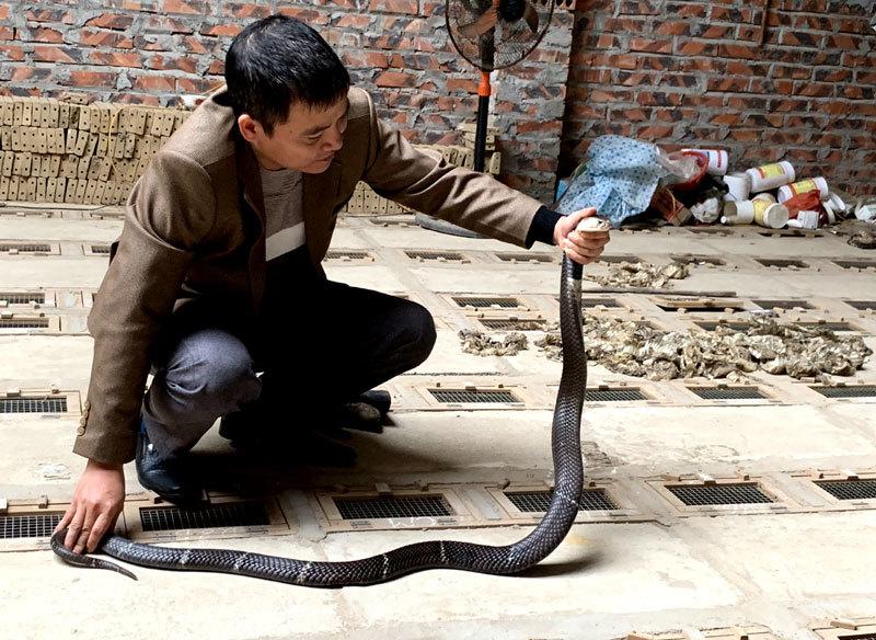 Nghề nuôi rắn ở xã Vĩnh Sơn có nguồn gốc từ cuối thế kỷ thứ 19