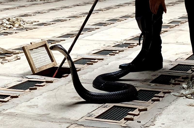Nghề nuôi rắn độc ở Việt Nam