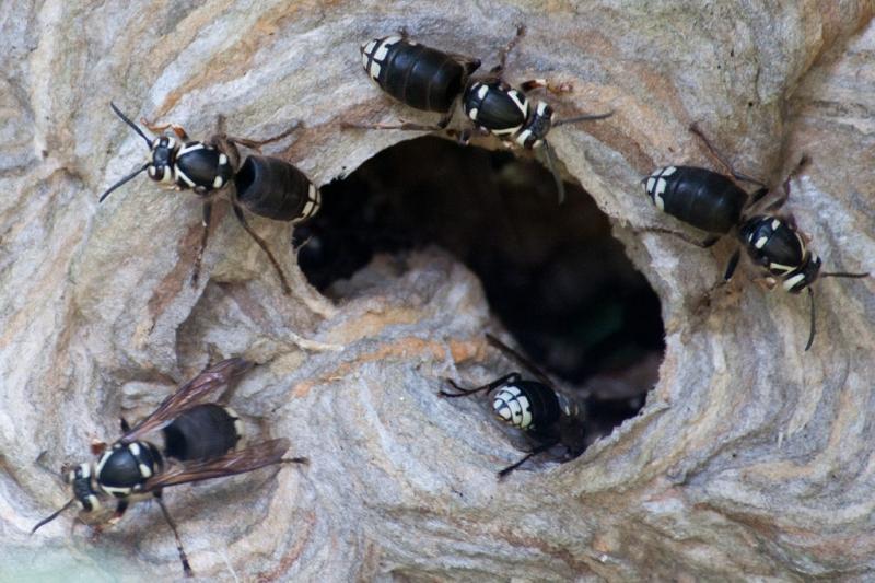 Ong Bắp Cày Hói