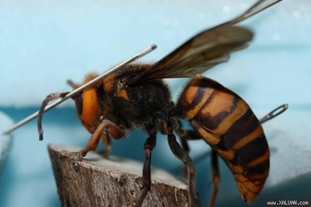 Ong Bắp Cày Vàng