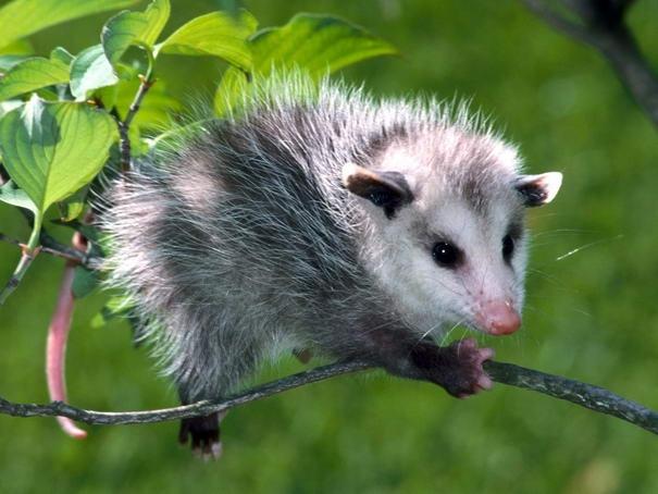 Opossum được biết với một cái tên khác là chồn túi