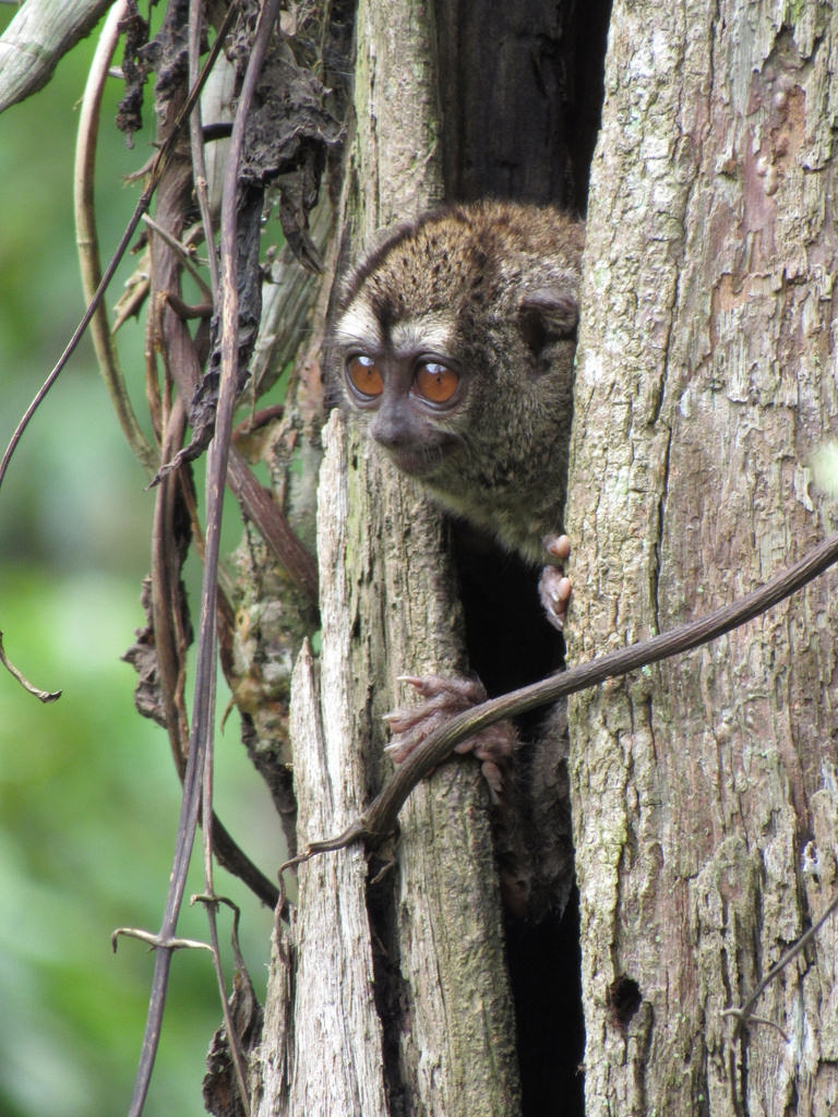 Owl Monkey là tên của loài khỉ cú ba sọc