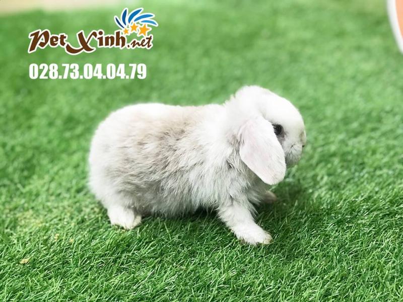 PetXinh.net - Nhím kiểng, Hamster, Thỏ, Sóc