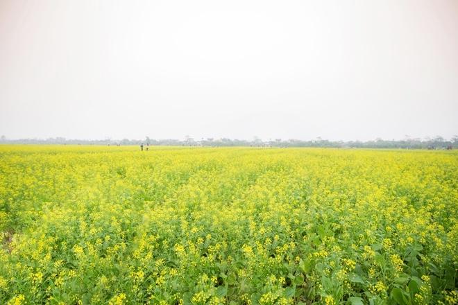 Hình ảnh tuyệt đẹp của cánh đồng hoa cải đẹp nhất Thái Bình