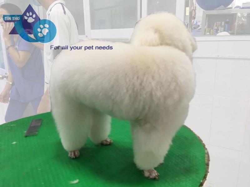 Bé poodle trắng được tắm Soda, cắt tỉa lông và vệ sinh toàn thân từ đầu đến chân.