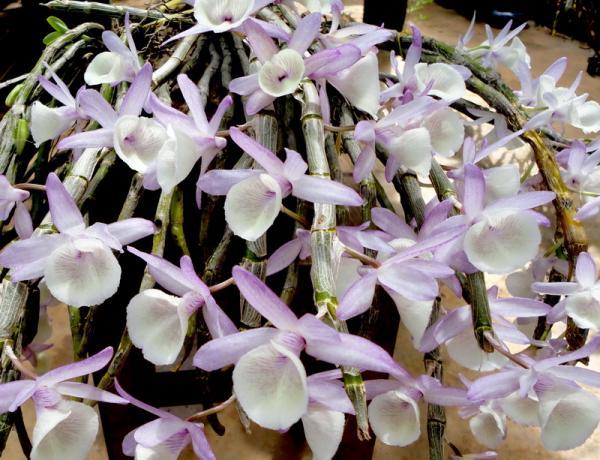 Phong lan hoàng thảo vôi