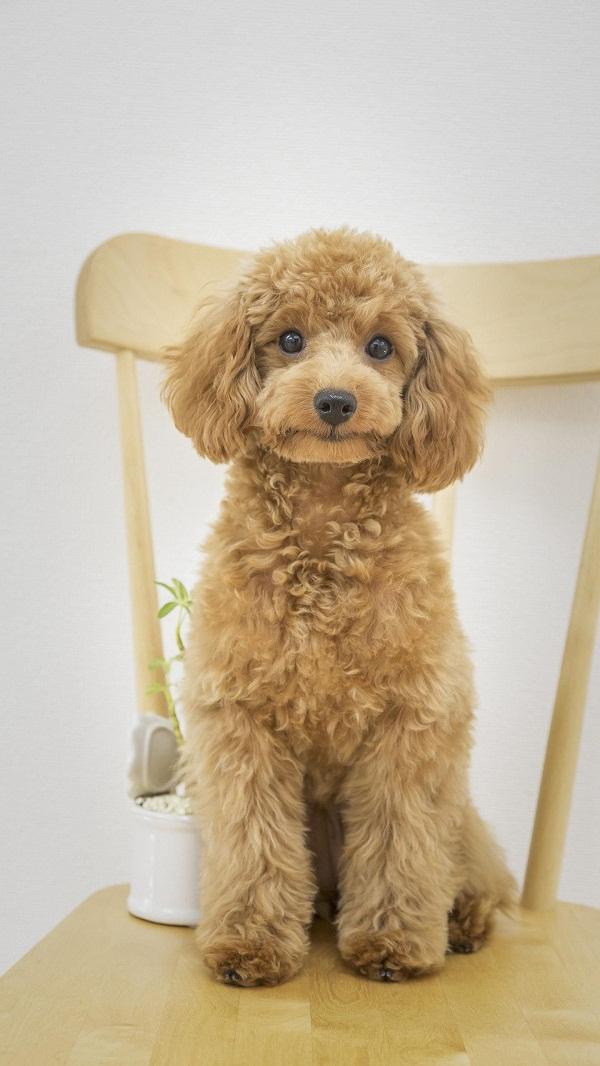 Poodle là giống chó có nhiều màu sắc