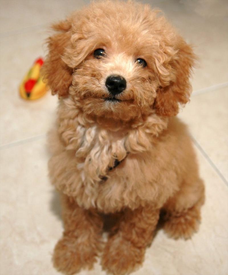 Poodle - một trong những loài chó cảnh thông minh nhất thế giới