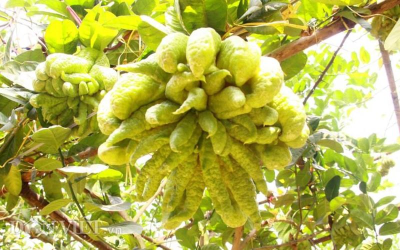 Theo quan niệm xưa phật thủ là loại quả dùng để thờ Phật và gia tiên vì có mùi thơm quyến rũ, tác dụng lưu giữ thần