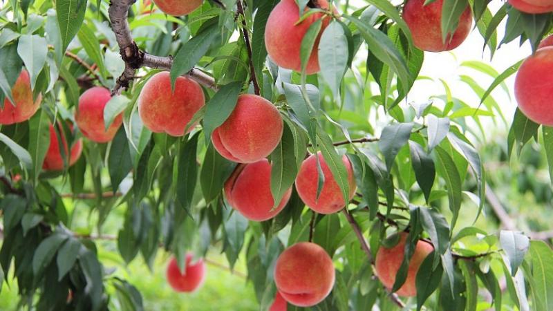 Đào là loại quả có hàm lượng sắt rất phong phú, ngoài ra còn có protein, đường, kẽm, pectin…