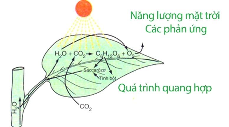 Quang hợp
