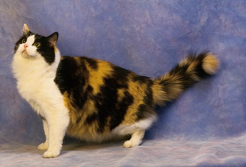 Ragamuffin là một biến thể của giống mèo Ragdoll