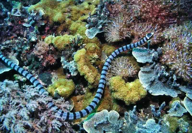 Rắn biển Belcher