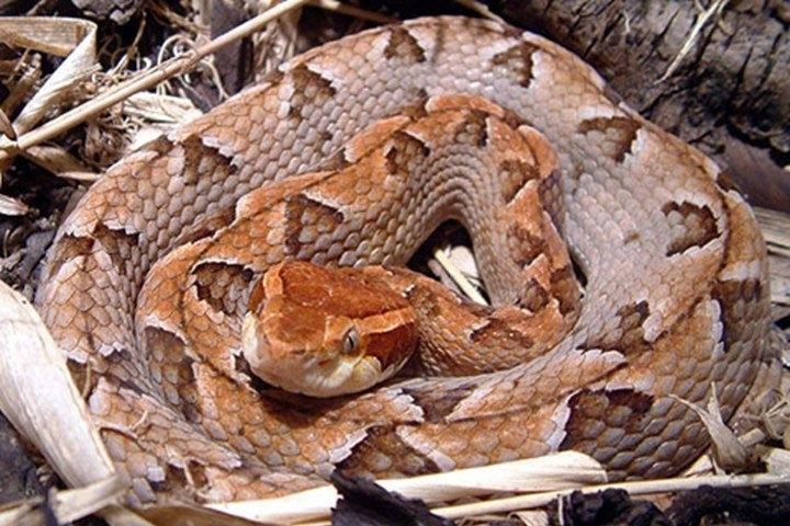 Rắn chàm quạp (hay còn gọi là rắn khô mộc)