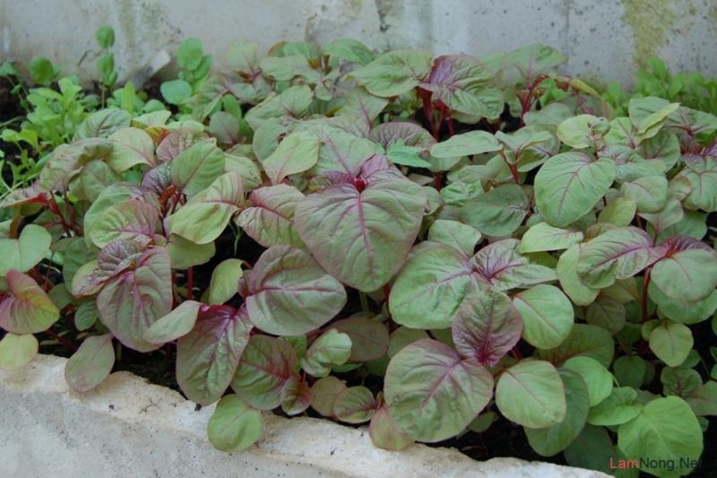 Rau Dền là loại rau mùa hè, có tác dụng mát gan, thanh nhiệt.