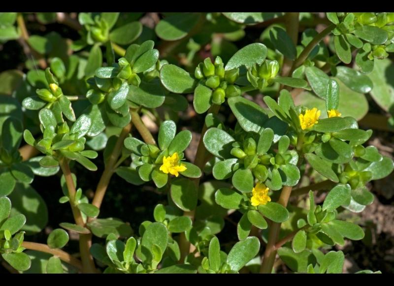 Lá rau sam dễ tìm ở ven bờ ruộng, bụi cỏ..