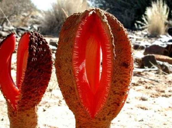 Rễ Hydnora Africana