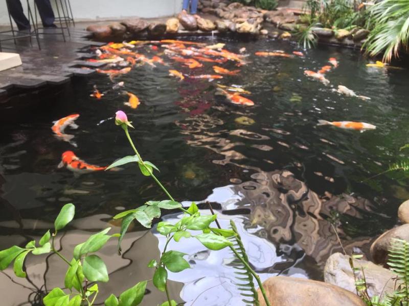 Quán có hồ cá Koi đủ màu sắc rất đẹp