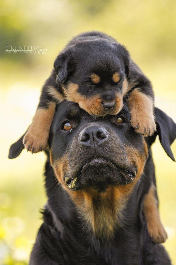 Rottweiler - một trong những loài chó cảnh thông minh nhất thế giới