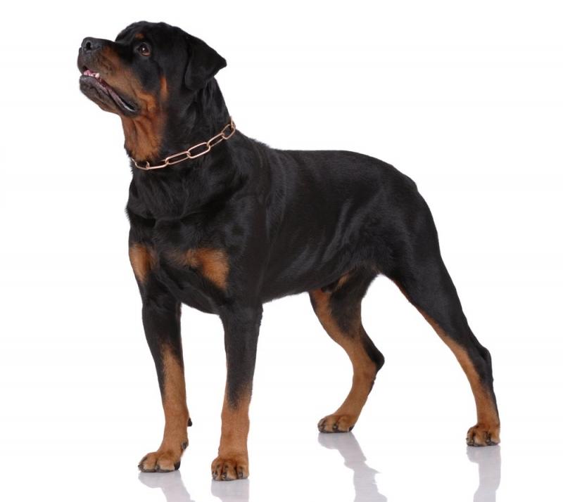 Rottweiler có thân hình to lớn vạm vỡ