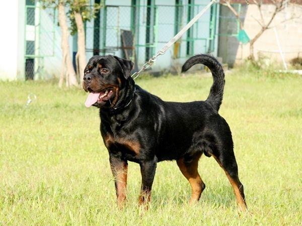 Một con chó Rottweiler đực trưởng thành kích cỡ như một con Shepard Đức nhưng vượt trội về cân nặng