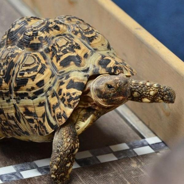 Chú rùa Bertie chạy nhanh nhất