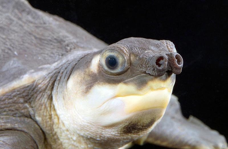 Rùa mũi lợn