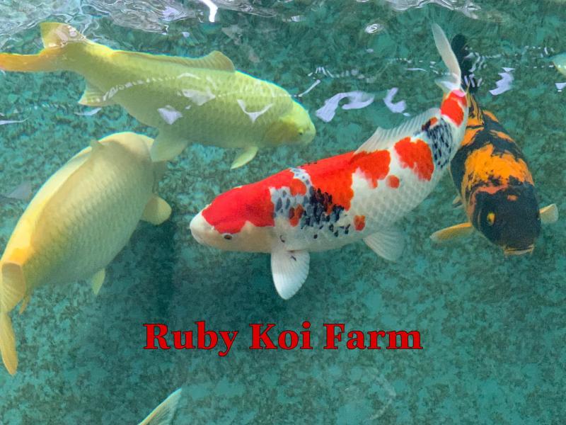 Top 10 địa chỉ mua cá Koi Nhật, Cá Koi F1 tại HCM