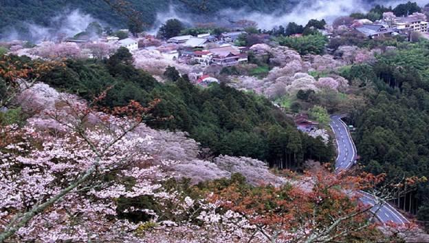 Rực rỡ sắc hoa anh đào vùng núi Yoshino -  Nhật Bản