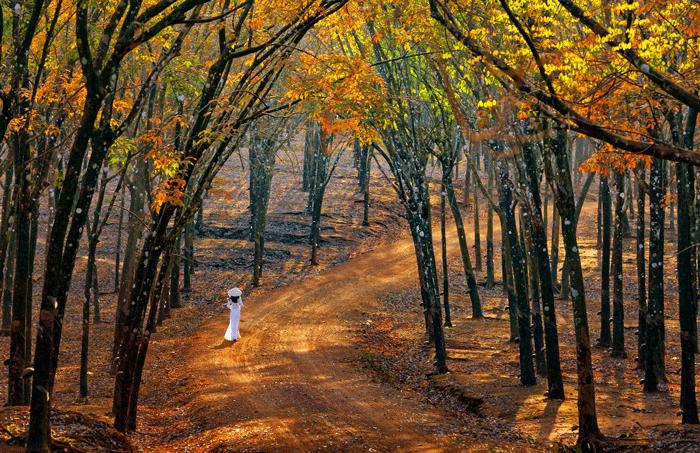 Khung cảnh đẹp mê hồn của rừng cao su Bù Đăng