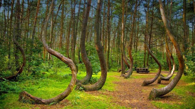 Rừng cây cong ở Gryfino