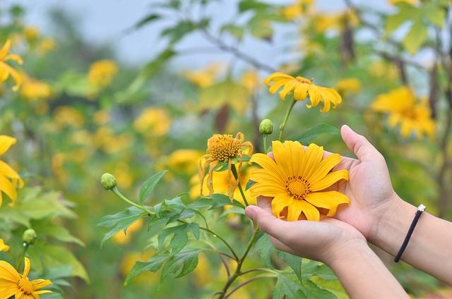 Hoa cúc quỳ lại nở rộ khoe sắc vàng rực rỡ giữa rừng đại ngàn tràn đầy sức sống mãnh liệt.