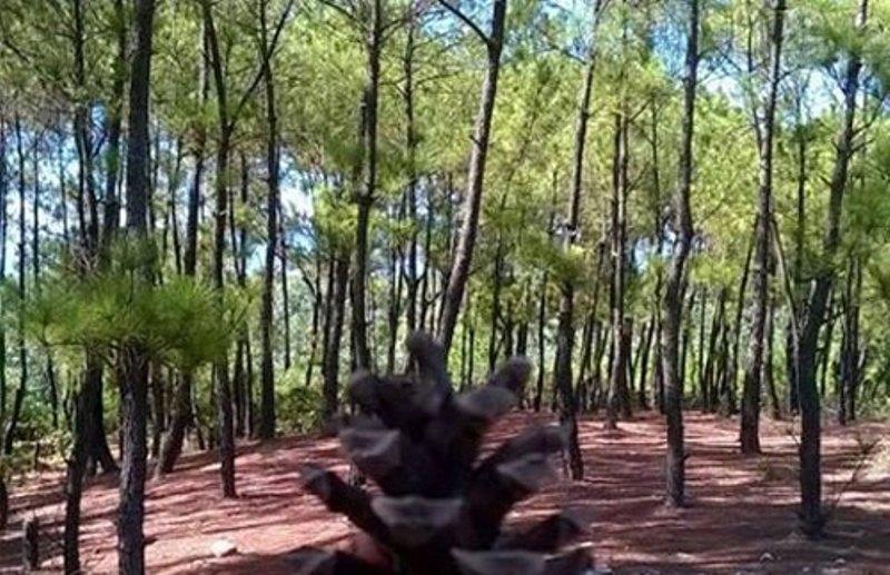 Rừng thông Bồ Bồ tuyệt đẹp