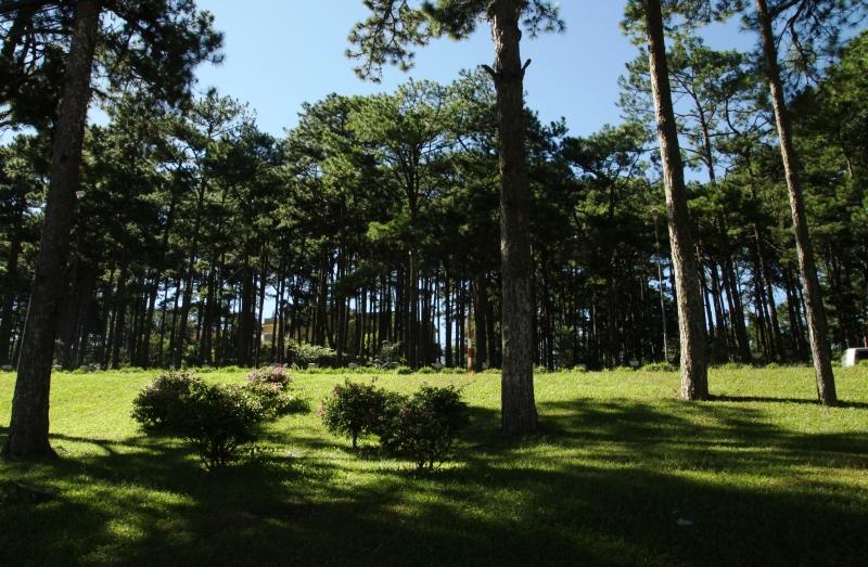 Rừng thông xanh rì reo vi vu trong gió.