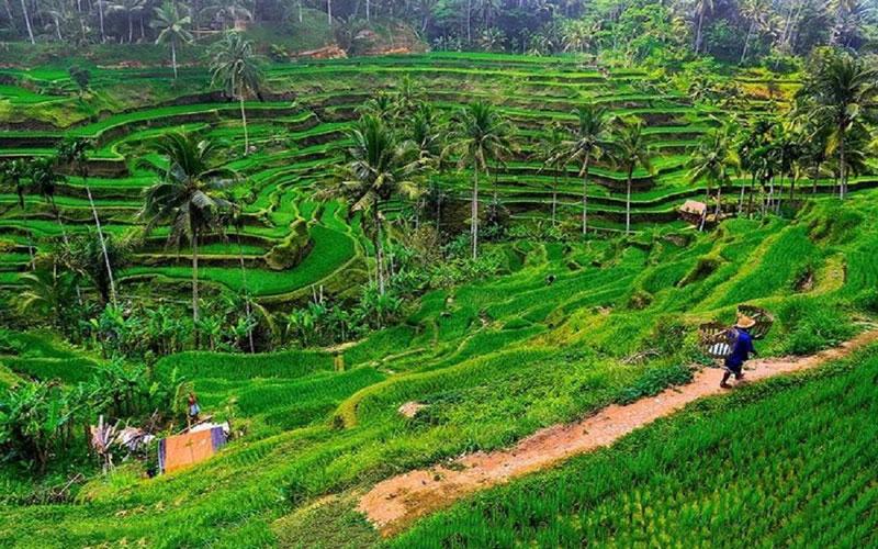 Ruộng bậc thang Tegalalang là một dải màu xanh mùa màng màu mỡ, những ai yêu thích thiên nhiên thì đây chính là điểm đến khó có thể chối từ.