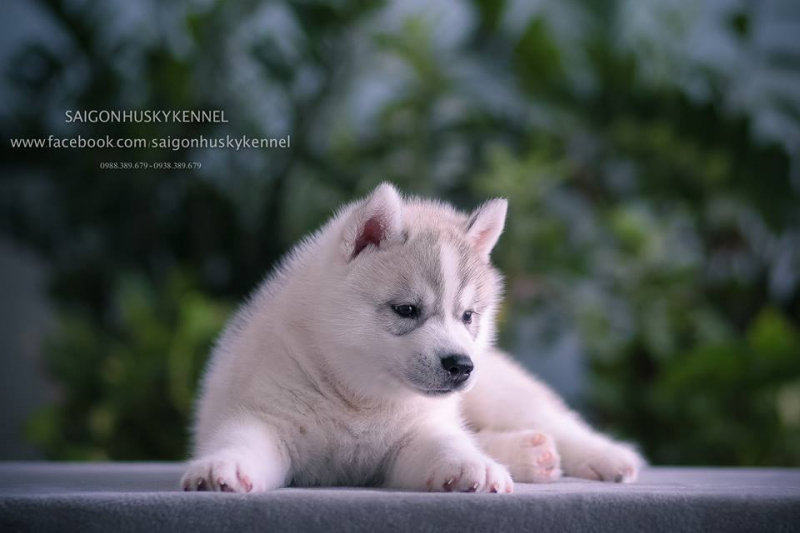 Saigon Husky Kennel