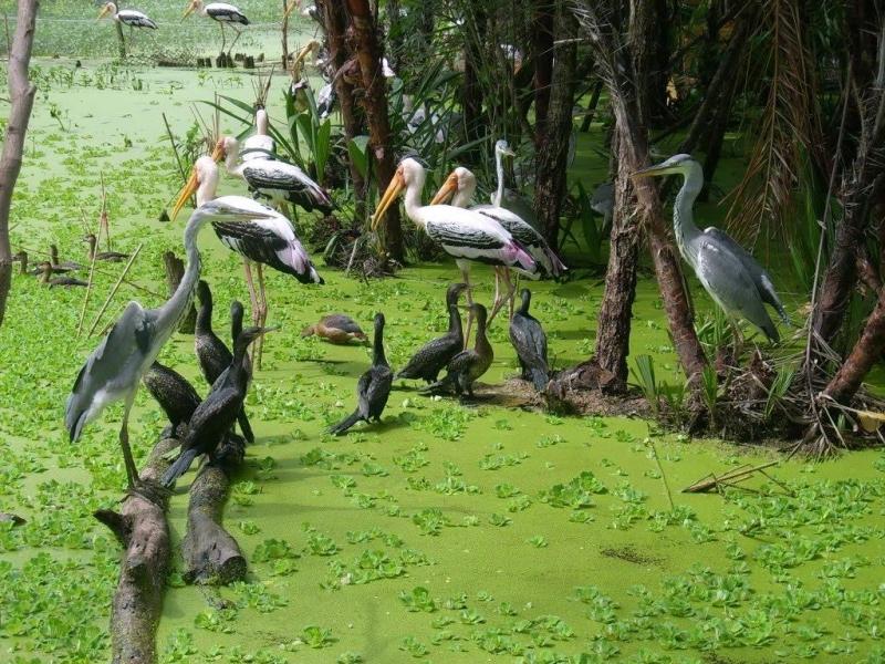 Hàng ngàn con chim tập trung sống ở Sân chim Cà Mau.